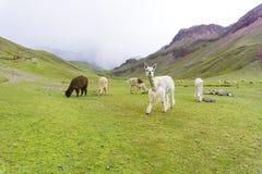 Alpaca on the rainbow mountain with storm on the back. Some alpaca on the rainbow mountain with storm on the back stock images