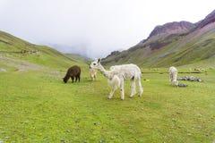 Alpaca on the rainbow mountain with storm on the back. Some alpaca on the rainbow mountain with storm on the back stock photography