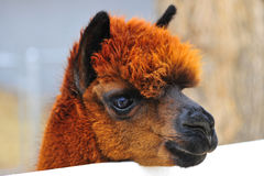 Alpaca Ranch Stock Photos
