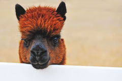Alpaca Ranch Stock Photography