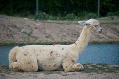 Alpaca recientemente rapada imagen de archivo