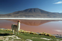 Alpaca Reflection. Alpaca Mountain Lake Reflection Bolivia Royalty Free Stock Photo