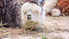Alpaca stock footage