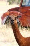 Alpaca roja en prado con el camión rojo viejo Fotografía de archivo