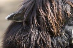 Alpaca's ear Stock Photos