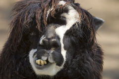 Alpaca's face Stock Photography