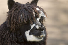 Alpaca's face Stock Images