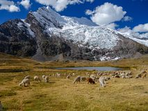 Alpaca`s in the peruvian andes stock image