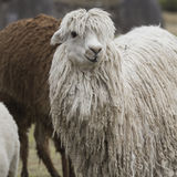 Alpaca a Sacsayhuaman, rovine di inche nelle Ande peruviane a Cu Immagini Stock