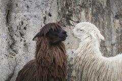 Alpaca a Sacsayhuaman, rovine di inche nelle Ande peruviane a Cu Fotografia Stock Libera da Diritti