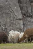 Alpaca a Sacsayhuaman, rovine di inche nelle Ande peruviane a Cu Fotografie Stock Libere da Diritti