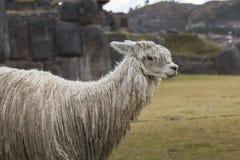 Alpaca a Sacsayhuaman, rovine di inche nelle Ande peruviane a Cu Immagine Stock Libera da Diritti