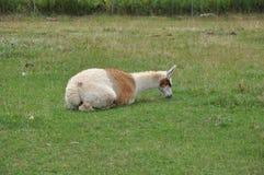 Alpaca Stock Photography