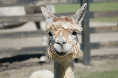 Alpaca say what? Stock Image
