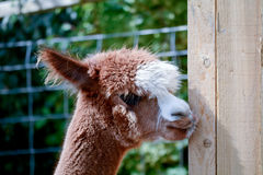 Alpaca scratching Royalty Free Stock Image