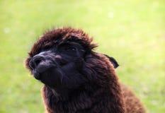 Alpaca shakes. The alpaca shakes, making a funny impression Stock Image