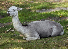 Alpaca 9 Royalty Free Stock Photography