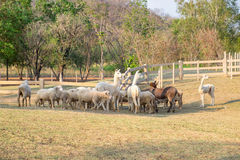 Alpaca,sheep,donkey standing wainting food in farm Royalty Free Stock Photos