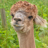 Alpaca Showing its Teeth Royalty Free Stock Image