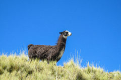 Alpaca and the sky Stock Photo
