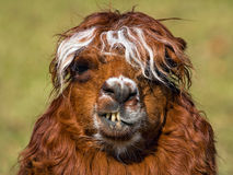 Alpaca smile. Funny face of an alpaca Stock Images