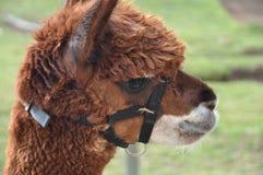 Alpaca snout Stock Photography