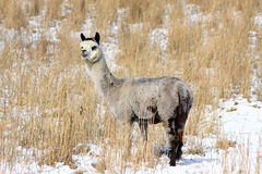 Alpaca in Snow Royalty Free Stock Photos
