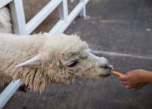 Alpaca som äter moroten royaltyfri bild