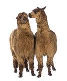 Alpaca som viskar på en annan alpacas, gå i ax Arkivbilder