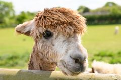 Alpaca in a spring farm field stock images