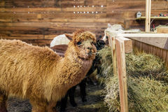 Alpaca in a stable Royalty Free Stock Photography