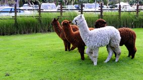 Alpaca. Stand on the garden Stock Images