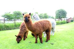 Alpaca. Stand on the garden Royalty Free Stock Photos