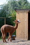 Alpaca standing Royalty Free Stock Photography
