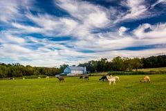 Alpaca su un'azienda agricola nella contea di York rurale, Pensilvania Immagine Stock Libera da Diritti