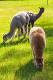 Alpaca sul pascolo Immagini Stock Libere da Diritti