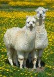 Alpaca sul prato con i fiori Immagine Stock