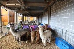 Alpaca - Sydney Royal Easter Show Royalty-vrije Stock Fotografie