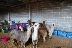 Alpaca - Sydney Royal Easter Show Royaltyfri Fotografi