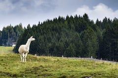 Alpaca in Tannheimer Tal Austria. Image of a Alpaca in Tannheimer Tal Austria Stock Image