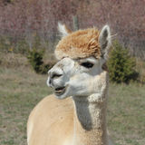 Alpaca with teeth showing Royalty Free Stock Image