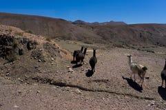 Alpaca in Tiwanaku Bolivia Immagini Stock