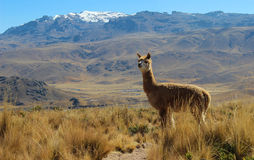 Alpaca on mountain top Royalty Free Stock Photos