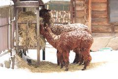 Alpaca. Two brown young alpaca eating hay in the yard. Winter season. Snowfall Stock Photography