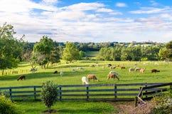 Alpaca in un'azienda agricola Immagine Stock Libera da Diritti
