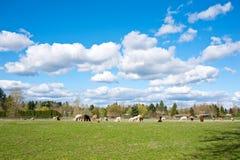 Alpaca in un'azienda agricola Fotografia Stock Libera da Diritti