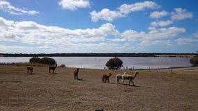 Alpaca in un'isola del canguro dell'azienda agricola @ Immagini Stock