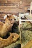 Alpaca in una stalla Immagini Stock
