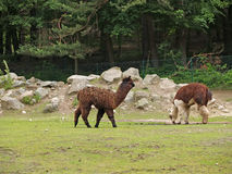 Alpaca in uno zoo Immagine Stock Libera da Diritti