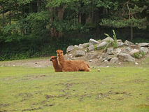 Alpaca in uno zoo Immagini Stock